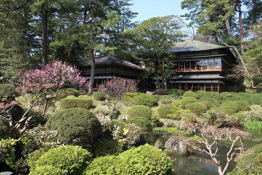 国指定名勝「鶴舞園」の梅が見ごろです。
