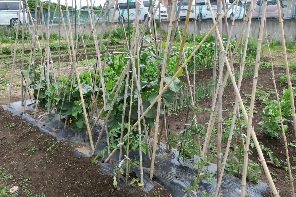 畑の収穫、きゅうり
