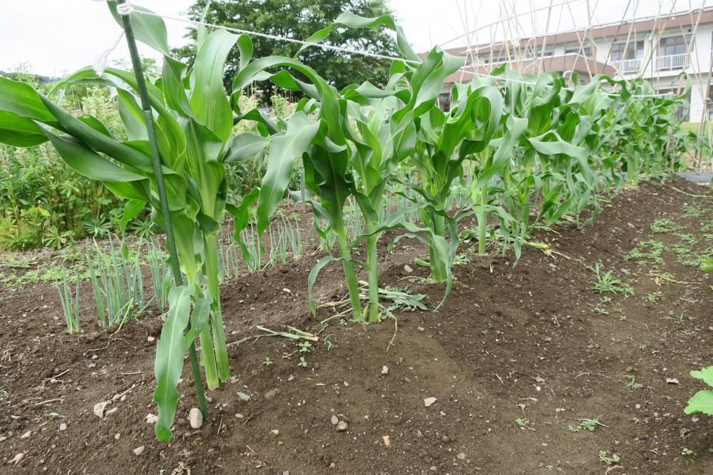 畑の収穫、大根葉