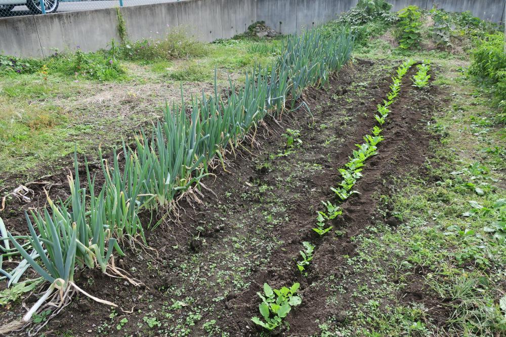 ホームの葱 菊の収穫