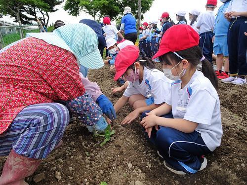 1、2年生がサツマイモ植え