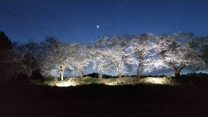 桜最前線ライトアップ:画像