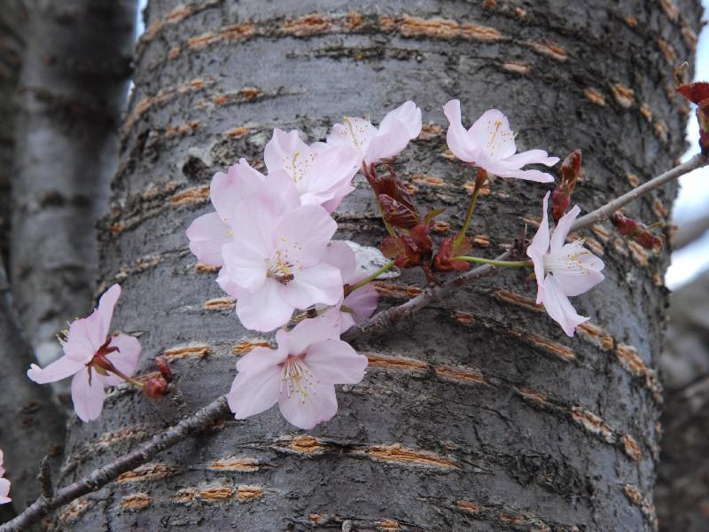 「飯豊町」4.23本日の桜開花状況♪:画像