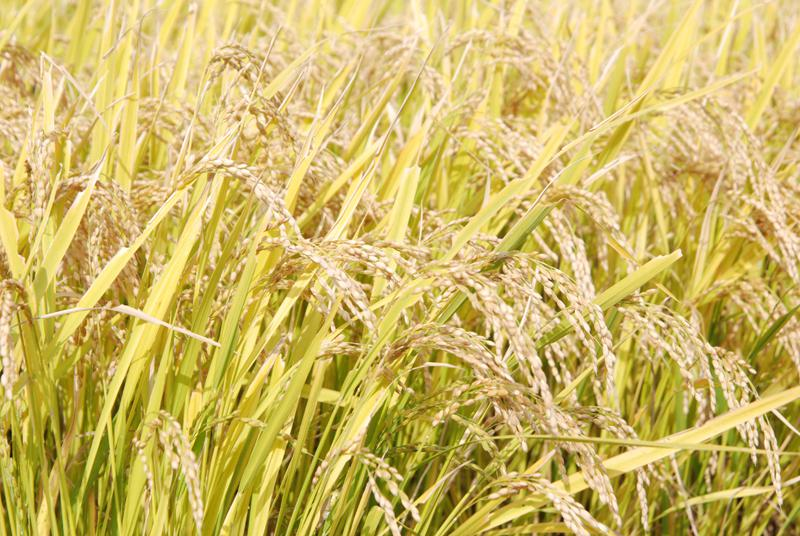 飯豊町 お米収穫開始!:画像