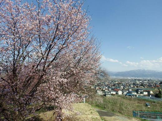 やまのべの桜開花状況/