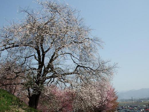 やまのべ桜開花状況/