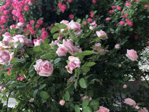 お隣さんの薔薇満開!!/