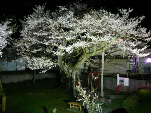 2013/04/21 06:45/【夜桜】種まき桜ライトアップ始まりました