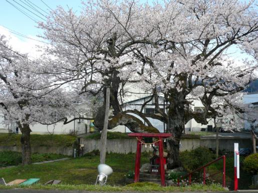 2009/04/07 08:19/伊豆大権現の種まき桜