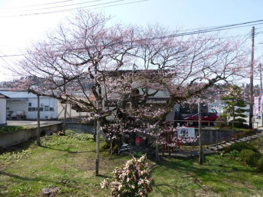 2015/04/19 18:52/種まき桜三分咲き