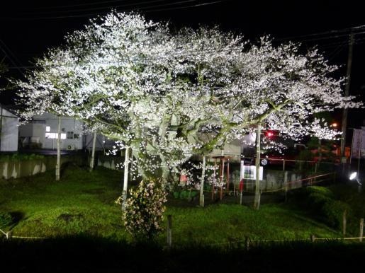 2015/04/22 15:23/種まき桜ついに満開。ライトアップ中!!