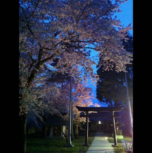 2016/04/21 06:05/白山神社の桜ライトアップ