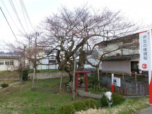 2017/04/18 07:55/伊豆の権現桜が開花しました