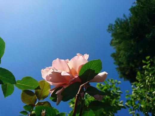 《バラ庭》ガーデンNOW〜・・今朝は青空に映え。。。!!/