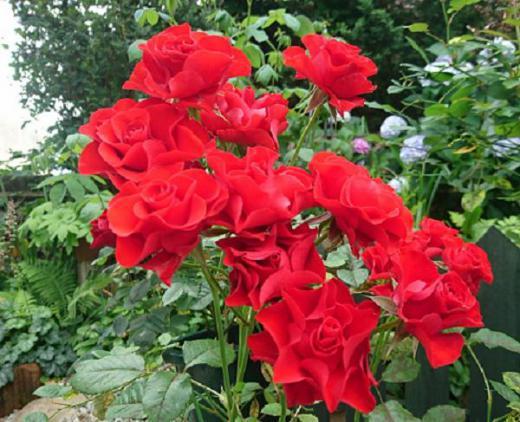 《バラ庭》ガーデンNOW〜・・バラ達もおわりです・・・/