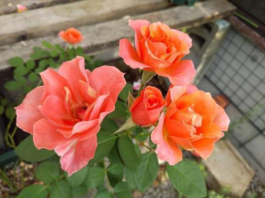 《バラ庭》ガーデンNOW〜・・バラもチラホラと。。。/