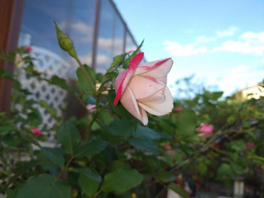 《バラ庭》ガーデンNOW〜・・バラ〜桜霞(^^♪/
