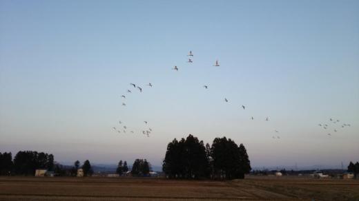 空を舞う白鳥たちです/