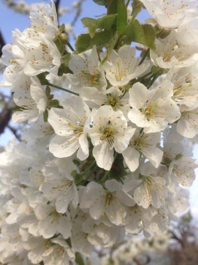 「さくらんぼ・花」の画像