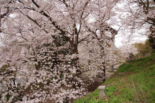 2012/04/30 11:30/30日早朝 烏帽子山千本桜も最高潮だよ