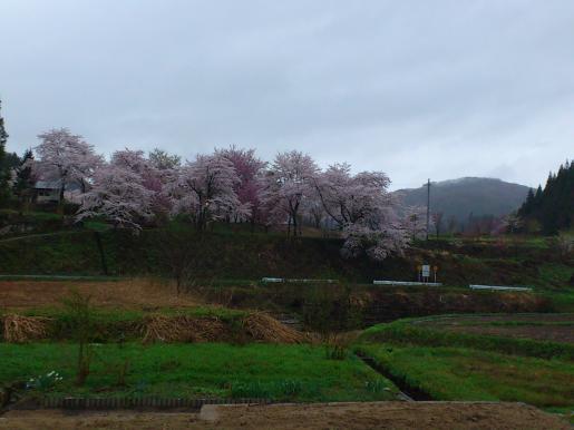2012/05/04 00:25/南陽市 吉野公園が満開だよ