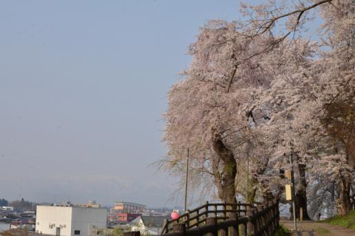 2015/04/05 20:49/平年より10日も早く桜前線山形県に到着!!