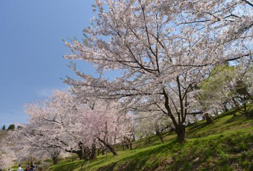 2015/04/24 17:12/祝2000PV超え! 満開の千本桜と花吹雪