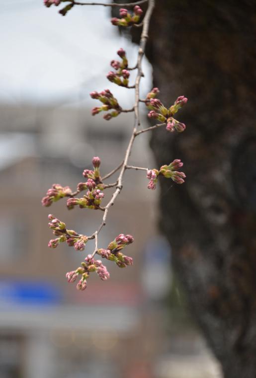 2017/04/16 12:05/明日かな?明後日かな?開花宣言