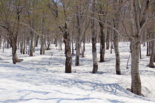 夏道から右側のブナ林/