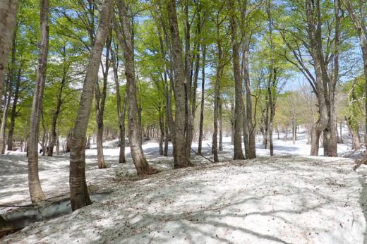 残雪のブナ林で/