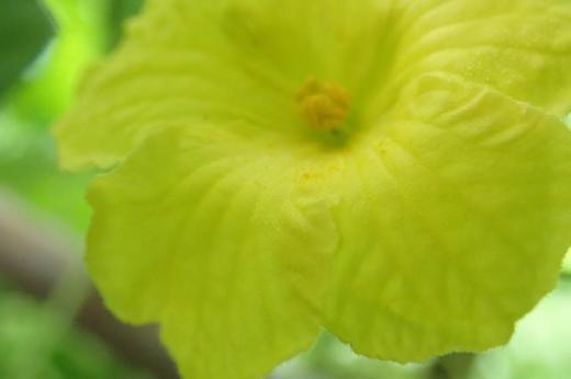 ゴーヤからミヤマニガウリの両性花と雄花を/