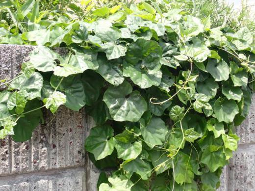 緑黒色の栄養たっぷりの分厚い葉の成長/