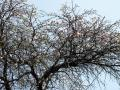 紅白のめでたい桜/