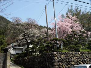 「紅白の桜、知ってっべが?」の画像