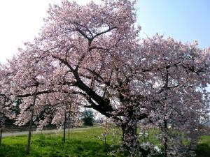 「おきたまの桜、満開です (^o^)/」の画像