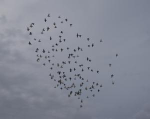 「8/22日(木)今日の「舎外」は、鳩くん任せで「一時間20分」以上は飛んでいましたが、状態が良いのか分かりません?。」の画像