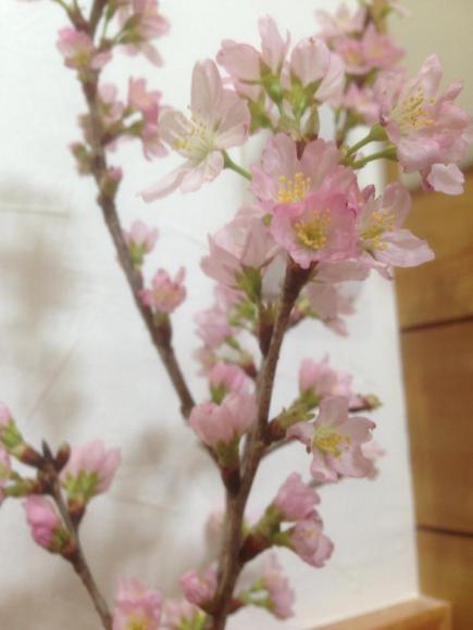 2015/02/05 00:02/廊下に桜を飾って見ました♪