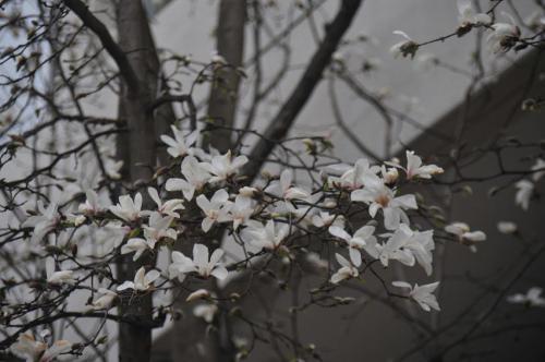 「コブシの花」の画像