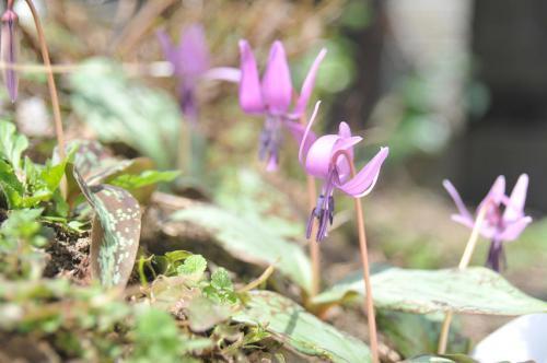 「カタクリの花」の画像