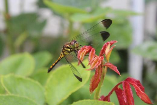 もうトンボが飛んでいます  四季咲きのバラの新芽の先に止まりました 季節の移ろいを感じます /
