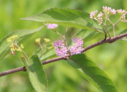 秋には鮮やかな紫色の実をつける「ムラサキシキブ」が小さな花を咲かせています 散歩の道すがらに葦の中に見つけました 秋の実を楽しみにしています/