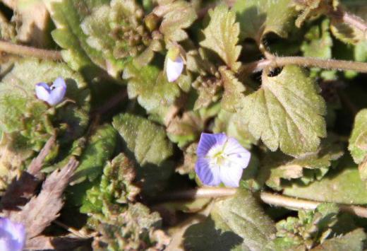道路そばにオオイヌノフグリの花が咲いていました 今年初の自生している植物の花です 雑草でどこにでも咲く花ですが春一番に咲く花で小さな紫色の花をたくさん咲かせる名前に似合わない可憐な花です/