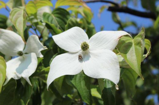 「ヤマボウシ」が初夏の青空に映えます 白い苞(蕾を包むように葉が変形した部分で花びらのように見えるが花ではない)が美しい花木です ハナミズキと似ていますが苞の先がとがっていることで区別がつきます 秋には真っ赤な実が付き熟すと食べられるとのことです 昨日の山形新聞でも紹介されていました/