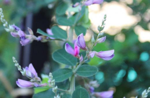初秋の風物詩の花木の一つですがもう「ハギ」の花が咲き始めました 万葉集の中で最もよく詠まれている花だそうです 中秋の名月に月見団子とともにお供えする風習もあります 昔は山野に自生し家畜の冬のえさと刈り取られ乾燥して与えられていたとのことです/