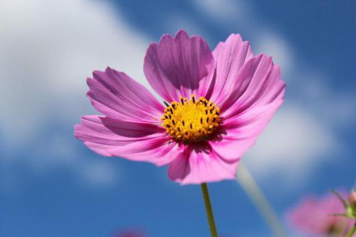 青い空白い雲と爽やかな秋の季節にピッタリのコスモスの花が咲いています この季節になると秋の代表的な花のにコスモスの花が咲き乱れる写真が新聞や雑誌に掲載されるようになります/