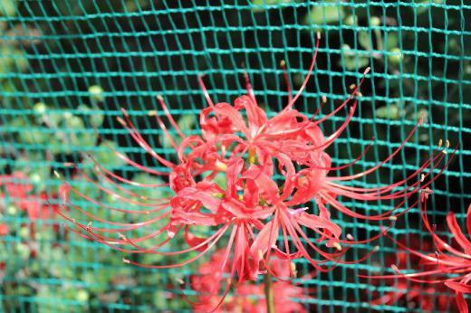 今日はお彼岸の中日 さわやかな秋晴れとなりました お彼岸を彩るようにヒガンバナが真っ赤に花を咲かせています 紅い花ですが華やかさの中にどこか寂しさを感じるのは私だけでしょうか/