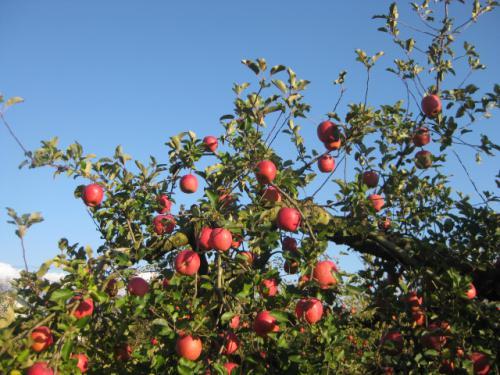 「祝!山形県品評会金賞のりんご畑」の画像