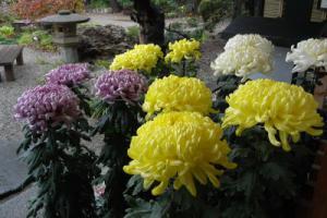 「菊の展示 今日からスタート」の画像