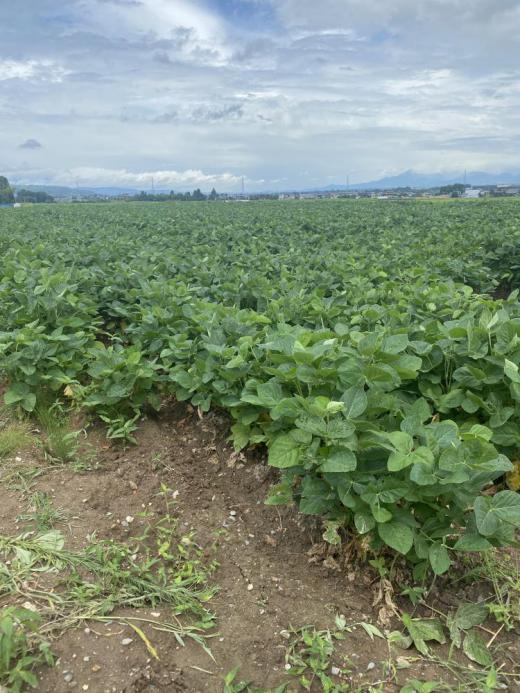 待ちに待った枝豆収穫始まります!!/