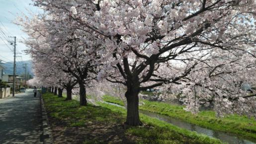 2019/04/20 06:34/☆今年も見事に、咲いています。(*⌒▽⌒*)☆